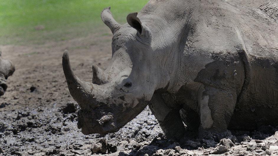 Nosorožec tuponosý severní v rezervaci Ol Pejeta