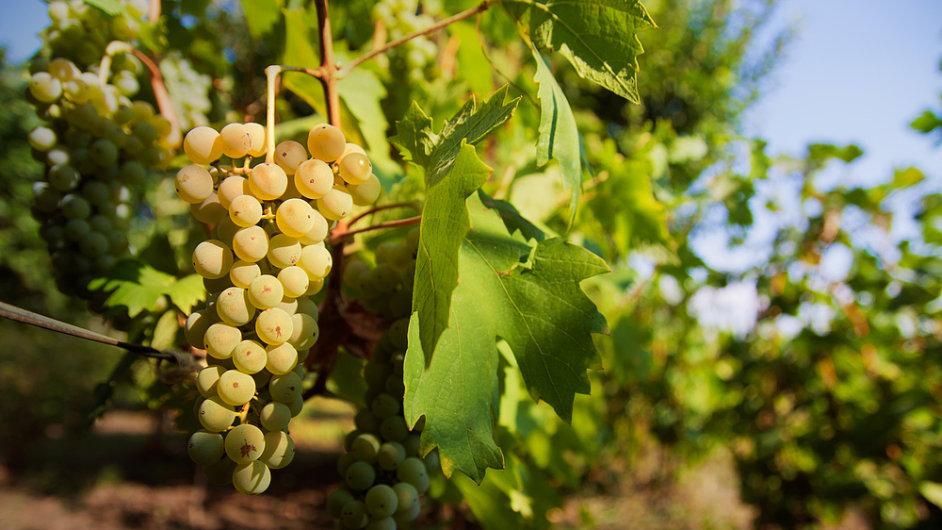 Vinaři v České republice nemají s klimatem problémy.  (ilustrační foto)