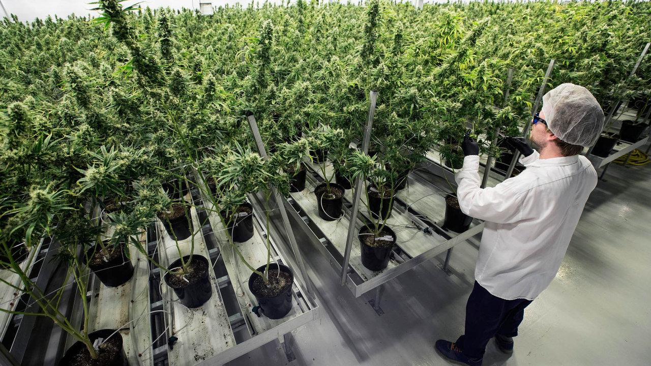 Výnosnější než rajčata. Při ceně dvě stě korun zajeden gram marihuany načerném trhu jde onelegální, nebo spíš přehlížený trh vobjemu šesti až dvanácti miliard korun zarok.