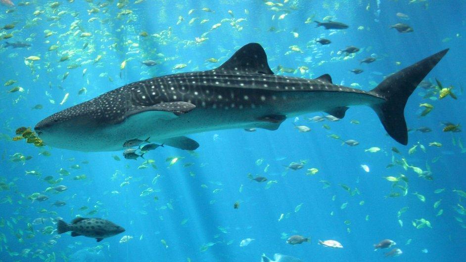 Podle odborného časopisu Oryx vygeneruje turismus zaměřený na pozorování žraloků ročně okolo 314 milionů dolarů.