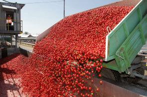 Z rajských jablek se kečup stane za tři hodiny. Podívejte se na cestu rajčete z pole až do sklenice