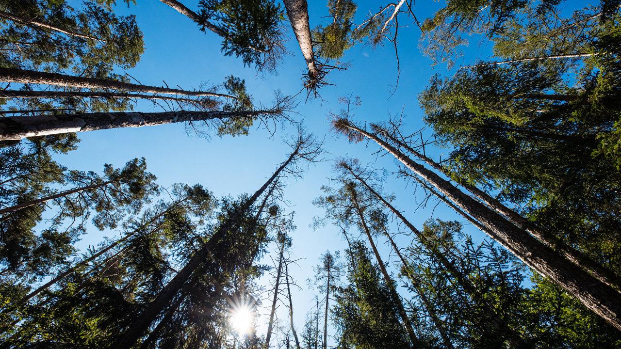 Smrk ztepilý, nejčastější strom Česka, který se běžně rozmnožuje až od 60 let, z českých lesů postupně mizí. Přemohlo ho sucho a kůrovec.