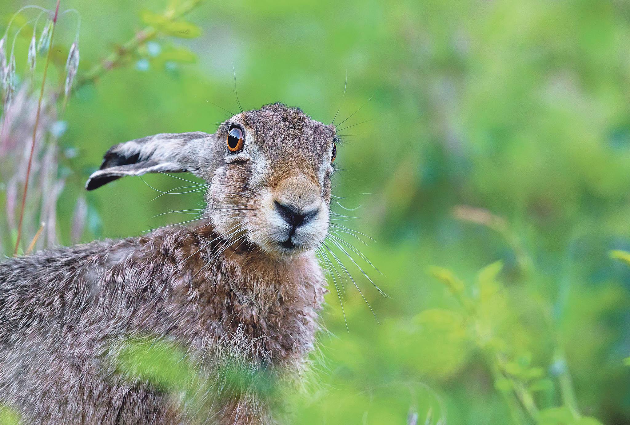 Myslivci letos v lednu v areálu Jaderné elektrárny Temelín odchytili 21 zajíců. Zvířata, kterým se na pozemku mimořádně daří, protože zde nemají žádné přirozené nepřátele, následně pustili do volné přírody.