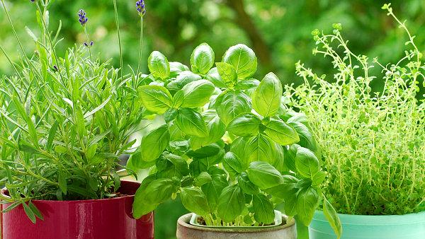 Většina bylinek je suchomilná, přílišné zalévání jim škodí.