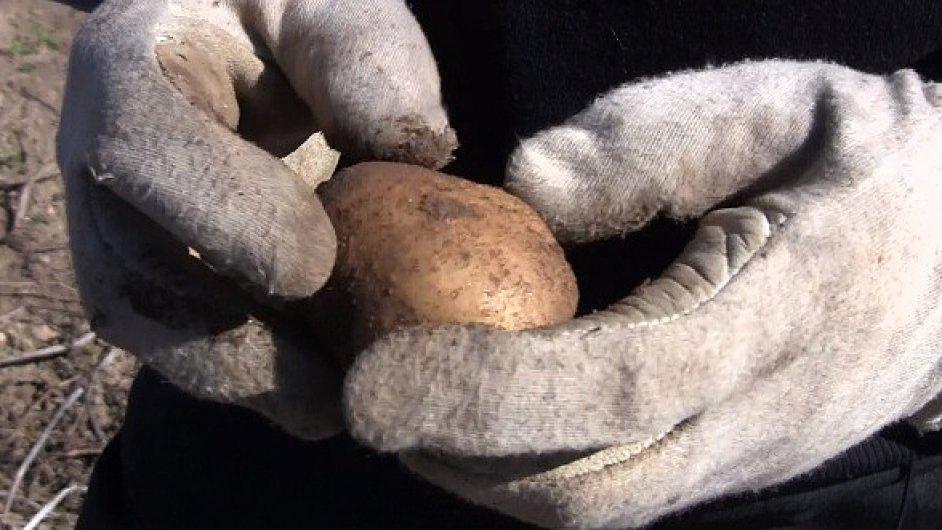 Optimální velikost brambor na výrobu chipsů