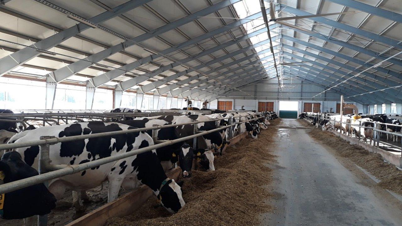 Krávy v kravíně na mléčné farmě Lípa