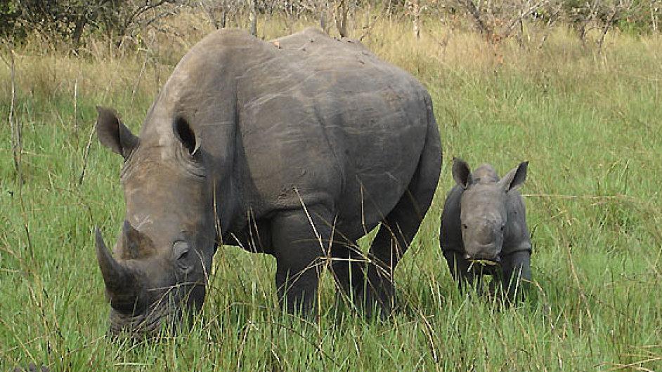 Nosorožec, ilustrační foto