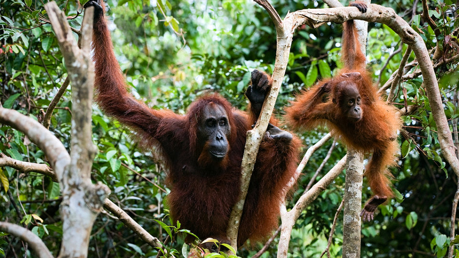 Orangutani na Borneu