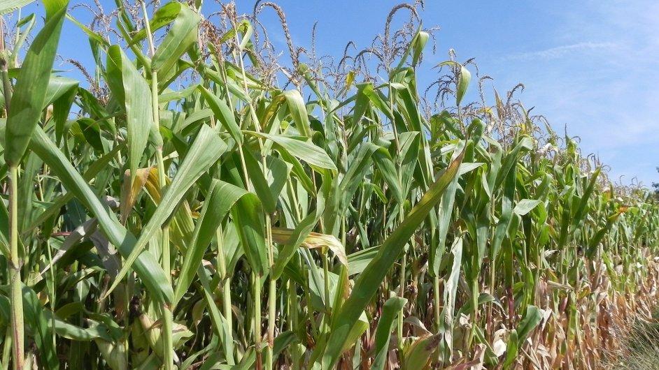 Kukuřice - ilustrační foto