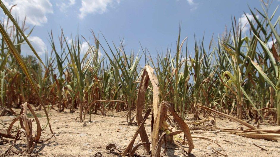 Sucho ve Spojených státech. Kukuřičné rostliny bojují v další horkém dni o přežití na farmě v blízkosti Evansville v Indianě.