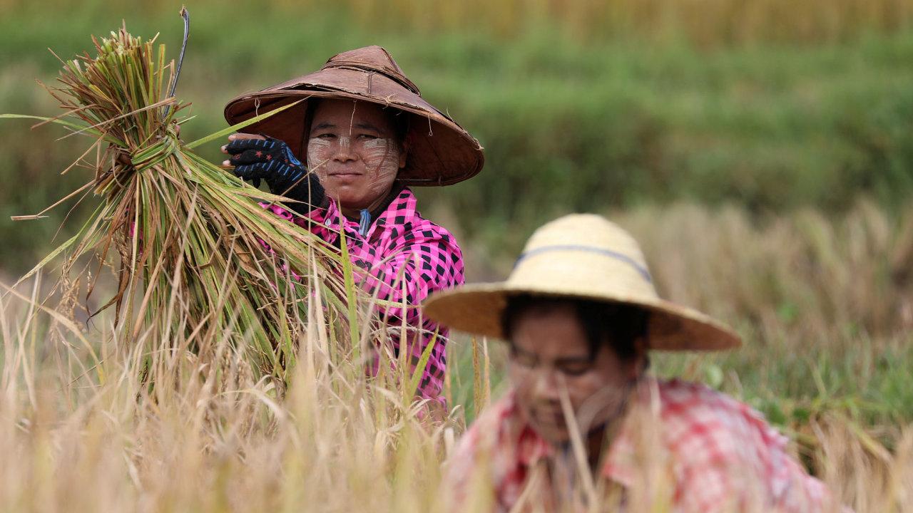 Two women harvest rice in Nyaung Shwe, Shan state, Myanmar