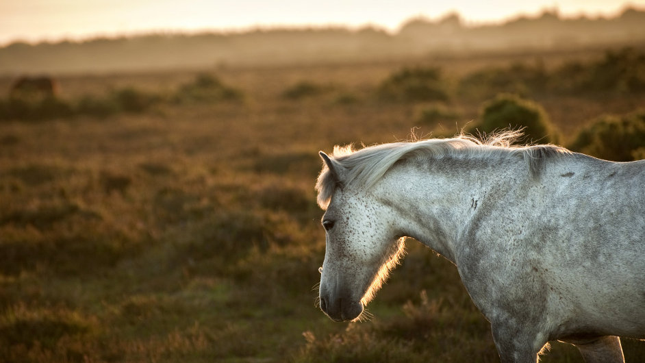 Do české přírody se vrací divocí koně. Pratur je na cestě...