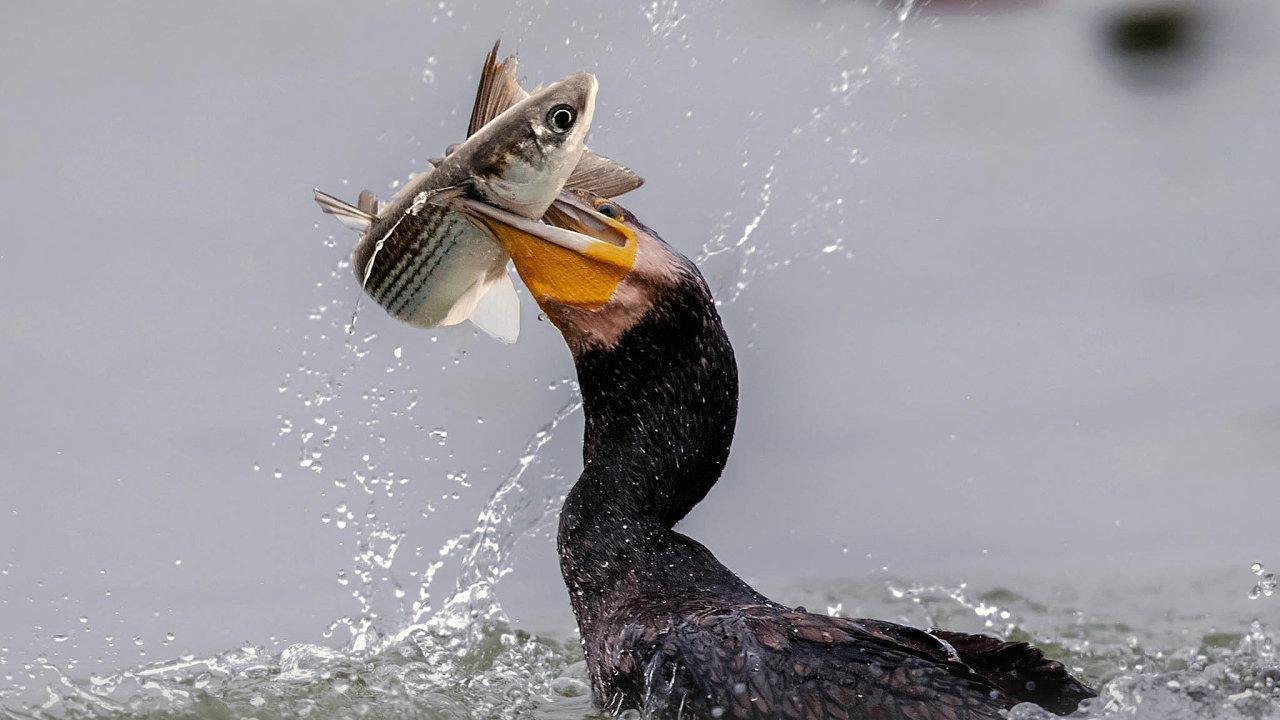 jak získat opravdu velkého ptáka