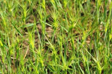 Na snímku je divoký příbuzný pšenice, tráva mnohoštět, jehož genom vědci poprvé přečetli.