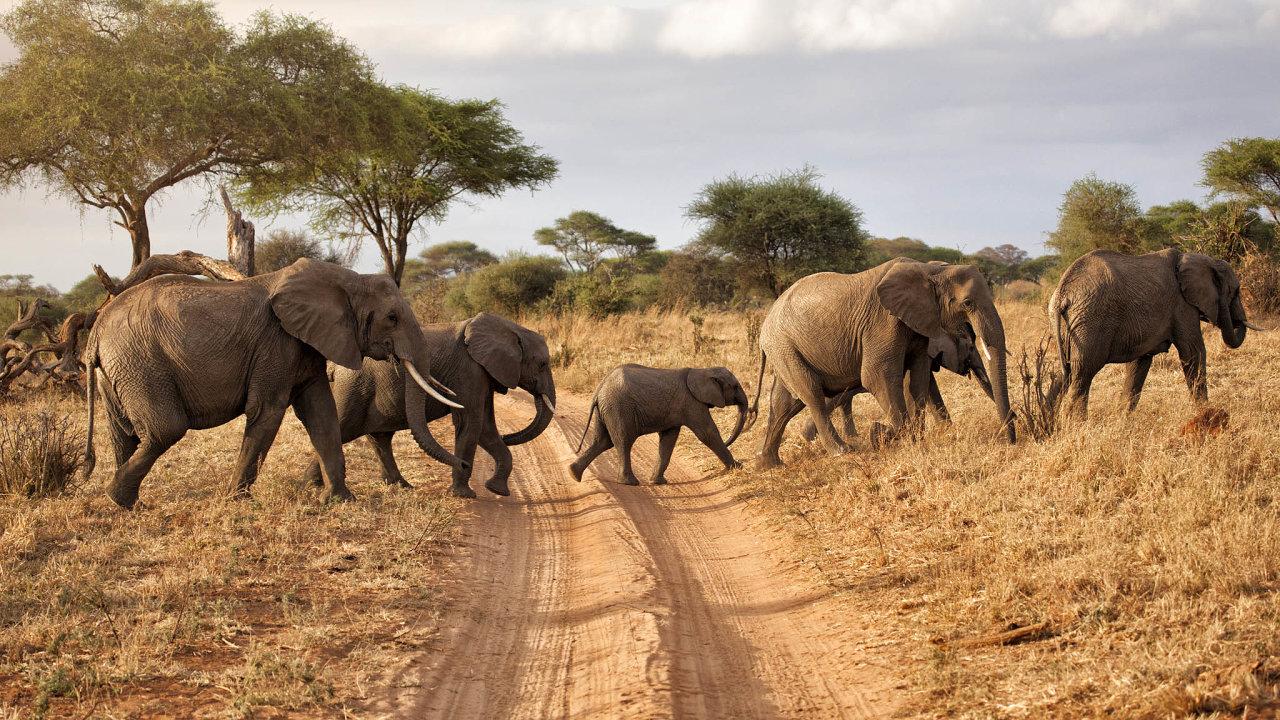 Vroce 1930 žilo vafrických savanách adeštných lesích na10 milionů slonů, kvůli masovému pytláctví alikvidaci jejich přirozeného prostředí jich dnes je už jen 415 tisíc.