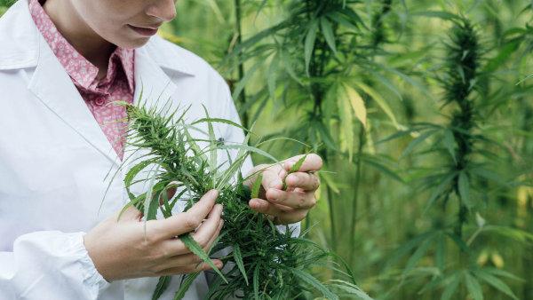 Letošní ročník konopného veletrhu Cannafest měl předskokana v podobě konference o investicích do byznysu s marihuanou - Ilustrační foto.