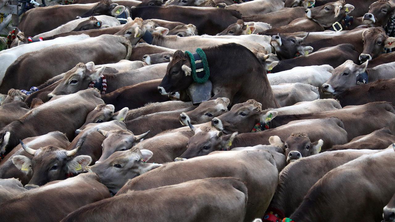 Pětadvacet obřích masokombinátů tlačí dolů ceny jatečných zvířat, která vykupují odchovatelů, asvým zaměstnancům vyplácí– naněmecké poměry– nízké mzdy.